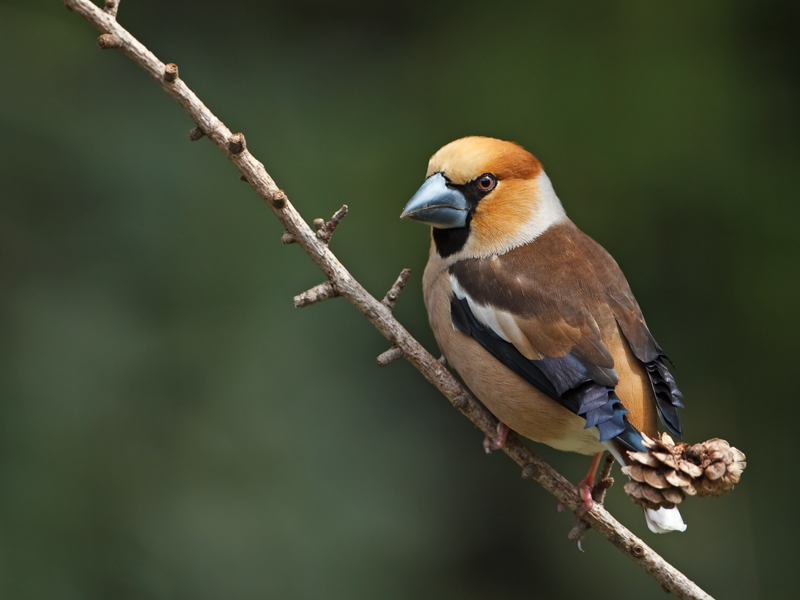 Coccothraustes coccothraustes Appelvink Hawfinch